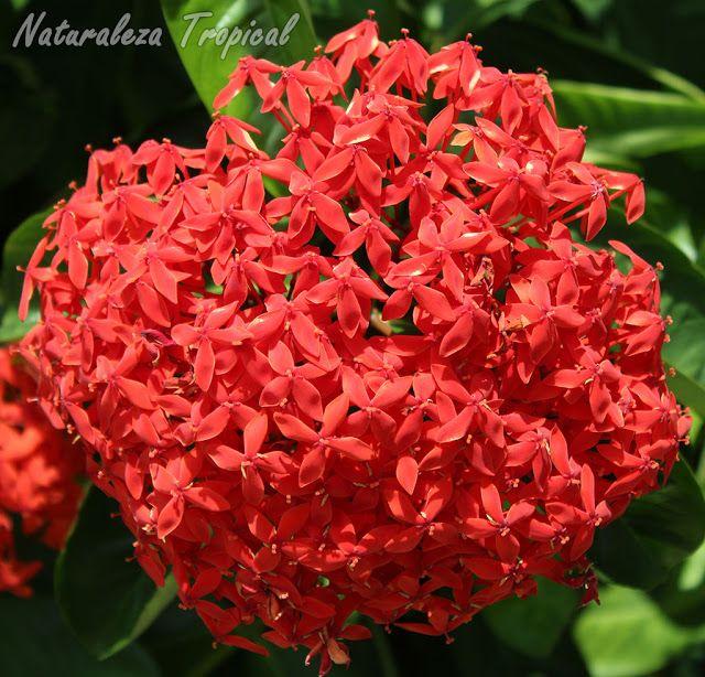 4 ixora coccinea es una de las plantas m s comunes en for Plantas ornamentales mas comunes