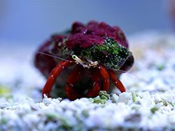 A Scarlet Reef Hermit Crab Also Known As A Red Leg Hermit Crab Hermit Crab Reef Aquarium Crab Species