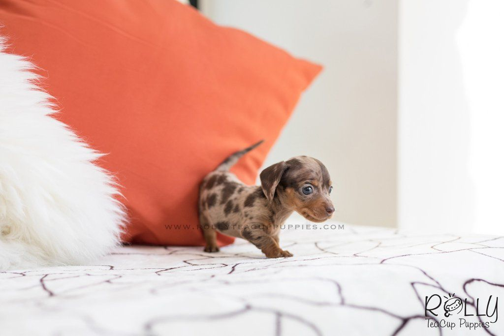 Image Result For Dachshund Puppy Dachshund Puppies Dapple