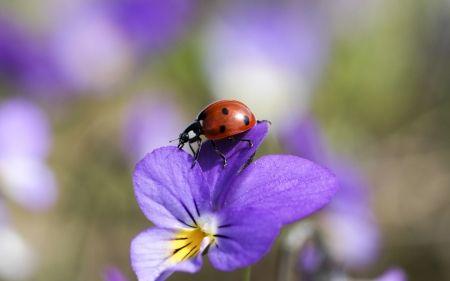 Ladybug on a pansy