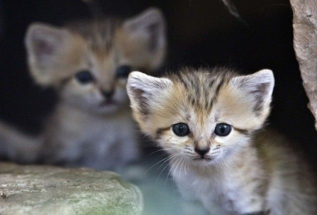 3-week-old sand cats - 04