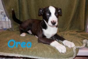 Oreo Is An Adoptable Husky Dog In Erie Pa To Find Out More About