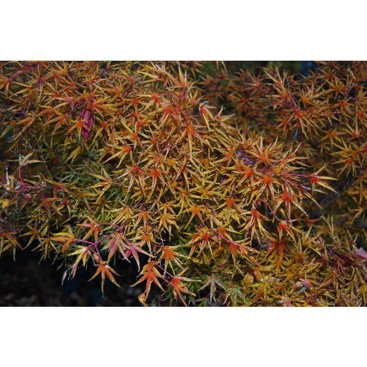 Acer Palmatum Okushimo Tube Leaf Japanese Maple 12x8 Maples