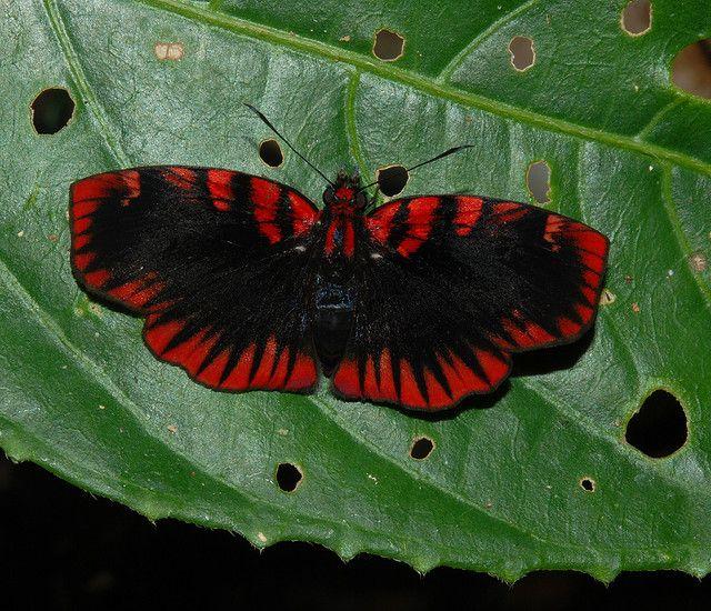 Blood-red skipper (Haemactis sanguinalis)
