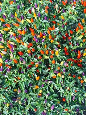 Tricolor Ornamental Pepper