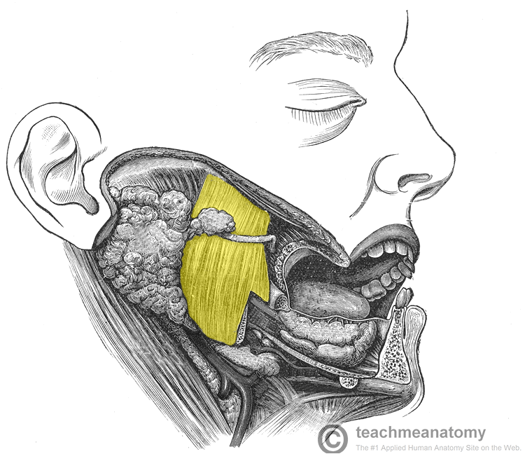 Diagram Of Mouth And Teeth Stampe Su Allpostersit