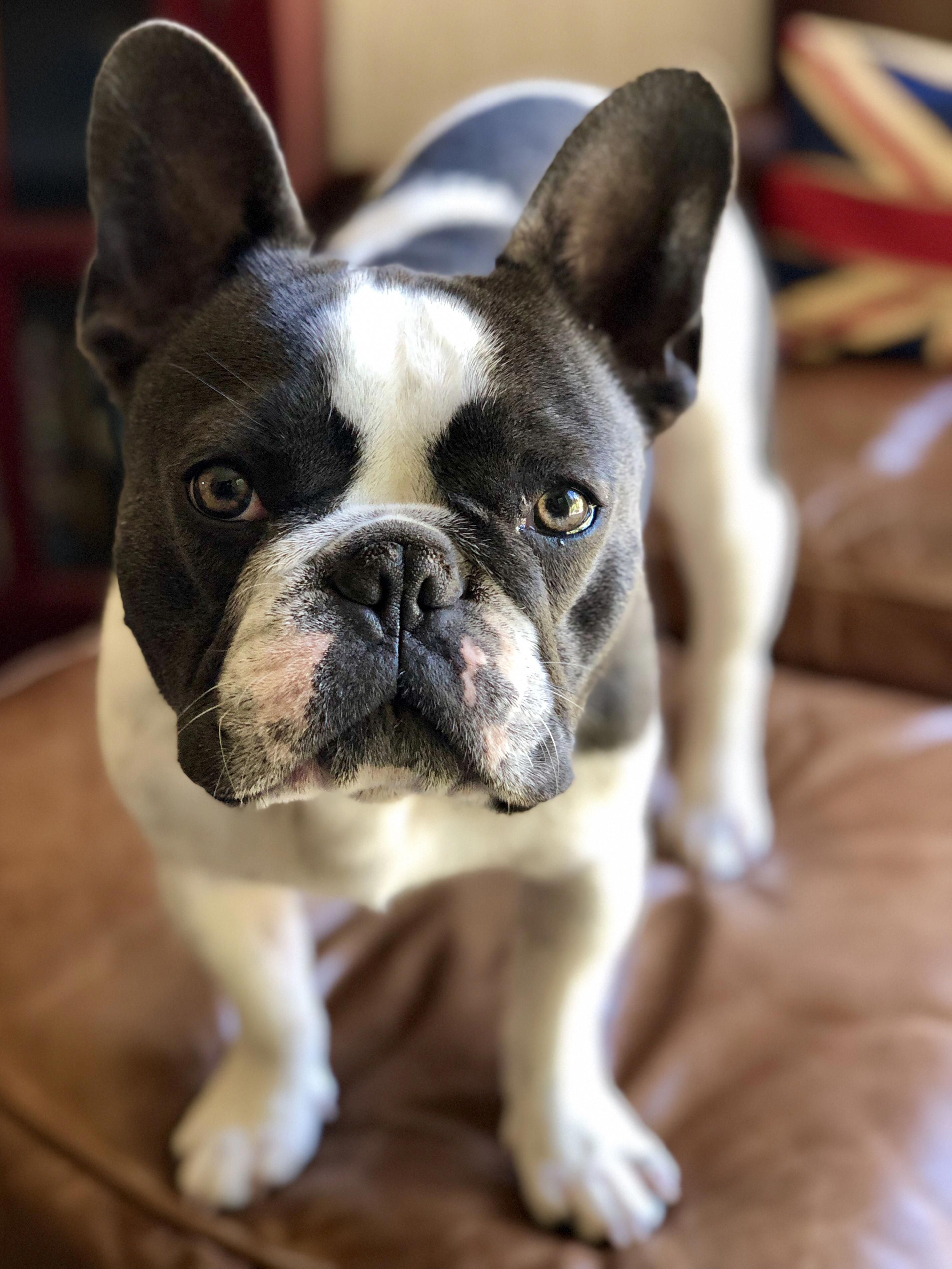 French Bulldog Playful And Smart With Images French Dogs