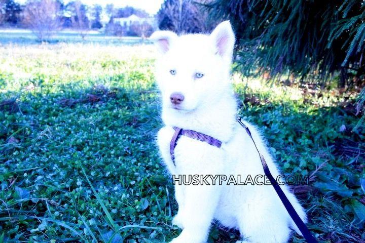 white-siberian-husky-IMG_6475.jpg (720×480)