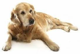 Dog Hip Dysplasia