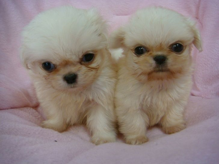 Pekingese Puppies For Sale In Johannesburg Johannesburg 2000 03