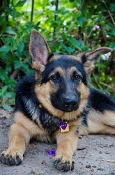 Adopt Quincy Adopted On Female German Shepherd German Shepherd