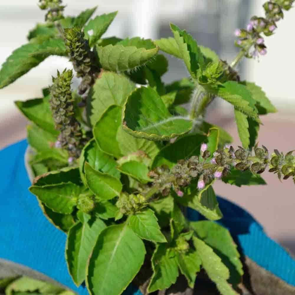 Pin On Herbs Plants 400 x 300
