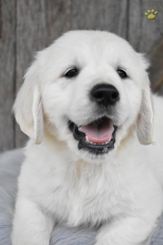 Daisy Golden Retriever English Cream Puppy For Sale In Apple
