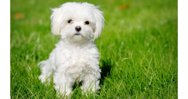 Maltese Dog Breed Information Characteristics And Pictures Tiny
