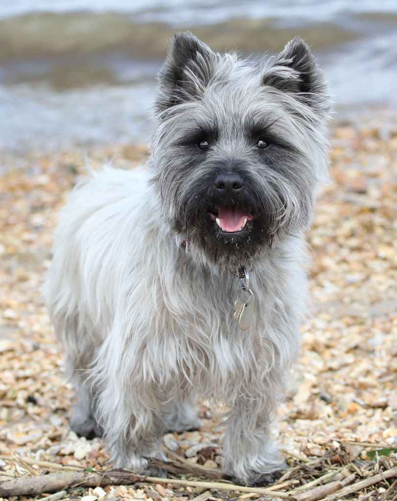 Buzz By Lledsrow The Rare Gray Silver Cairn Terrier Beautiful