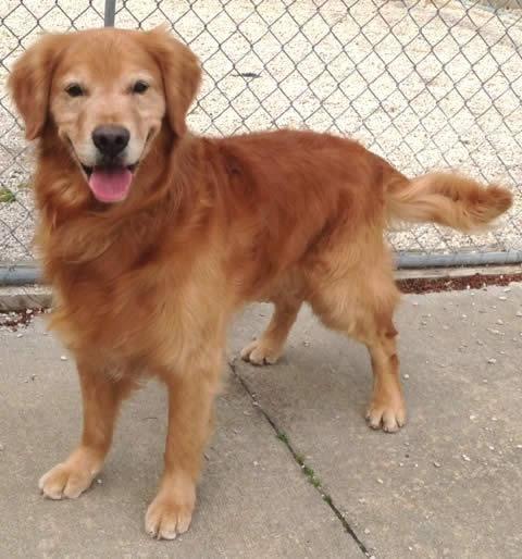Adopt Logan On Golden Retriever Rescue Dogs Golden Retriever Dogs