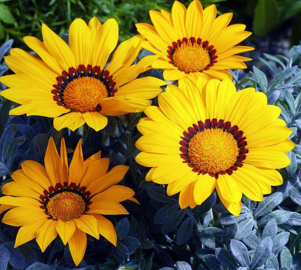 500 bulk flower seeds gazania seeds kiss frosty yellow