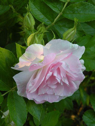 Hybrid Rugosa Rose: Rosa 'Polareis' AKA 'Ritausma' (Latvia, 1963)