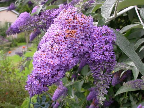 Butterfly Bush Buddleja Lochinch Hedging Plants Butterfly Bush Flower Photos