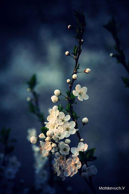 Evening Blossoms