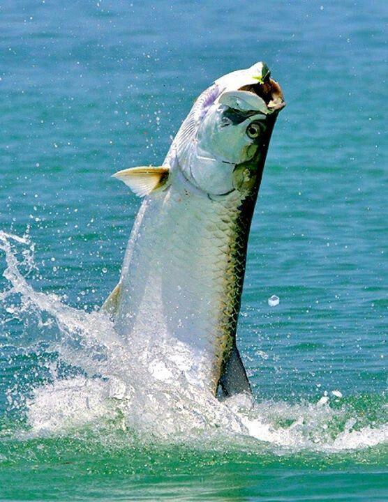 Tarpon florida keys beautiful shot saltwater fishing for Saltwater fishing in florida