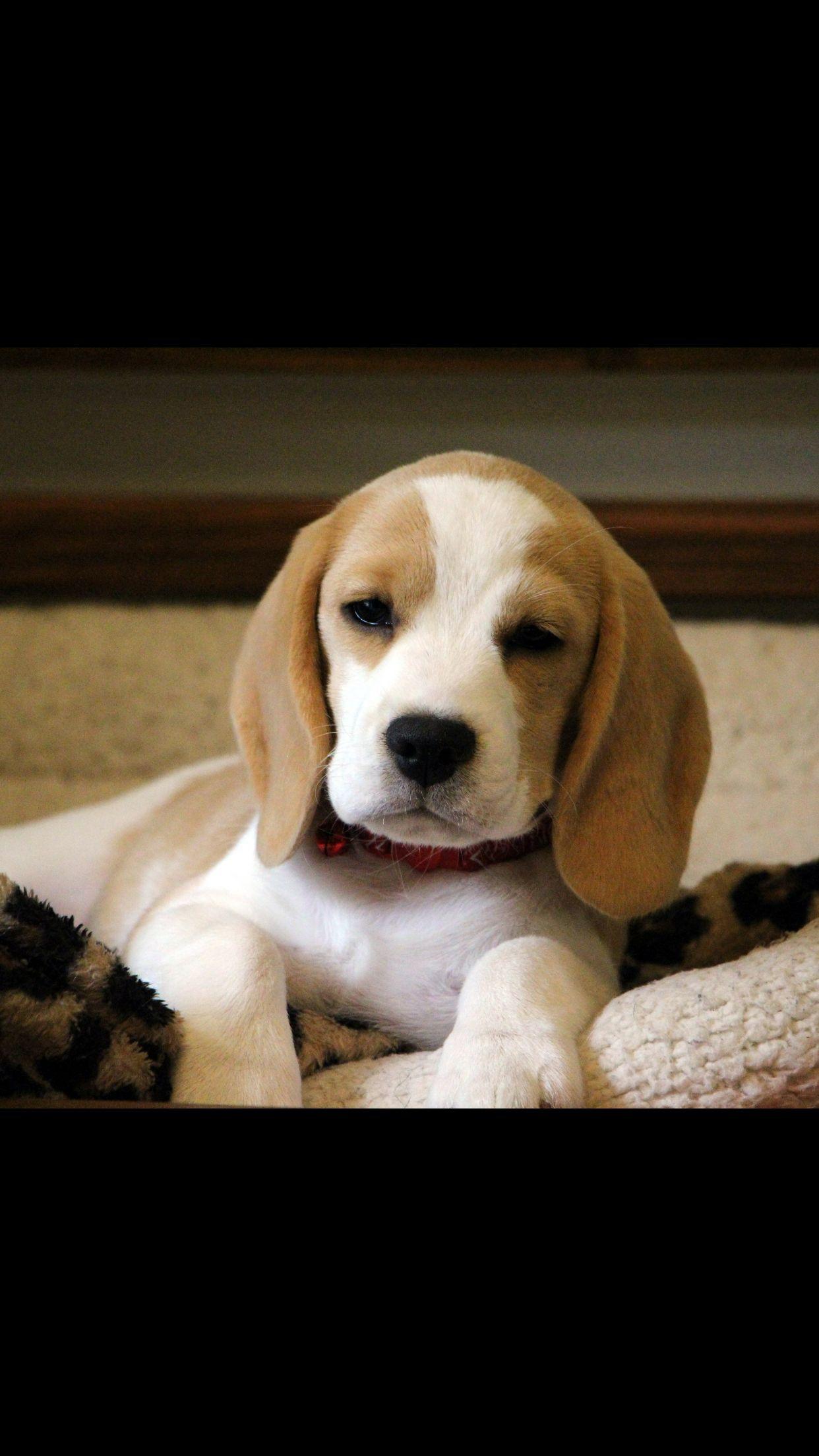 Beautiful Lemon Baby Adoptable Beagle Cute Beagles Puppy