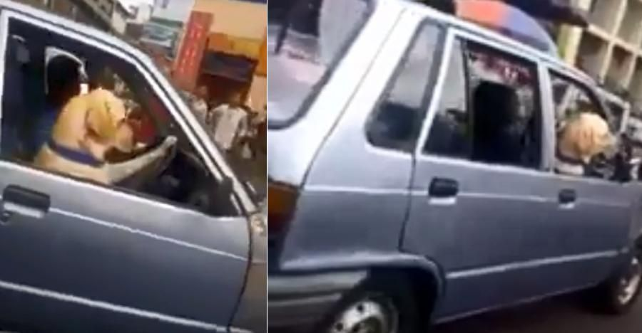 How Is This Dog Driving The Maruti 800 In Shillong We Explain