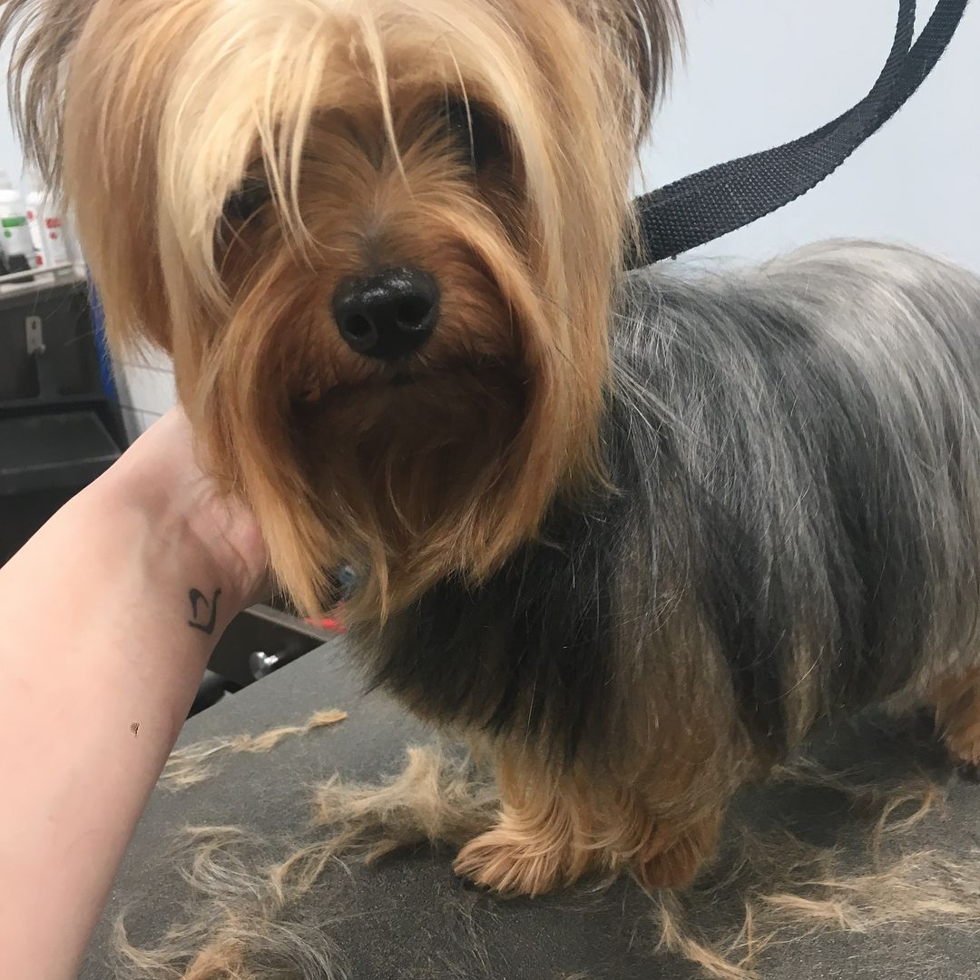 My Sophia Vegera Came In After A Few Months Of Not Seeing Me Ive Missed Her Yorkie Yorkshire Yorkshireterrier Dog Grooming Salons Dog Salon Dog Haircuts