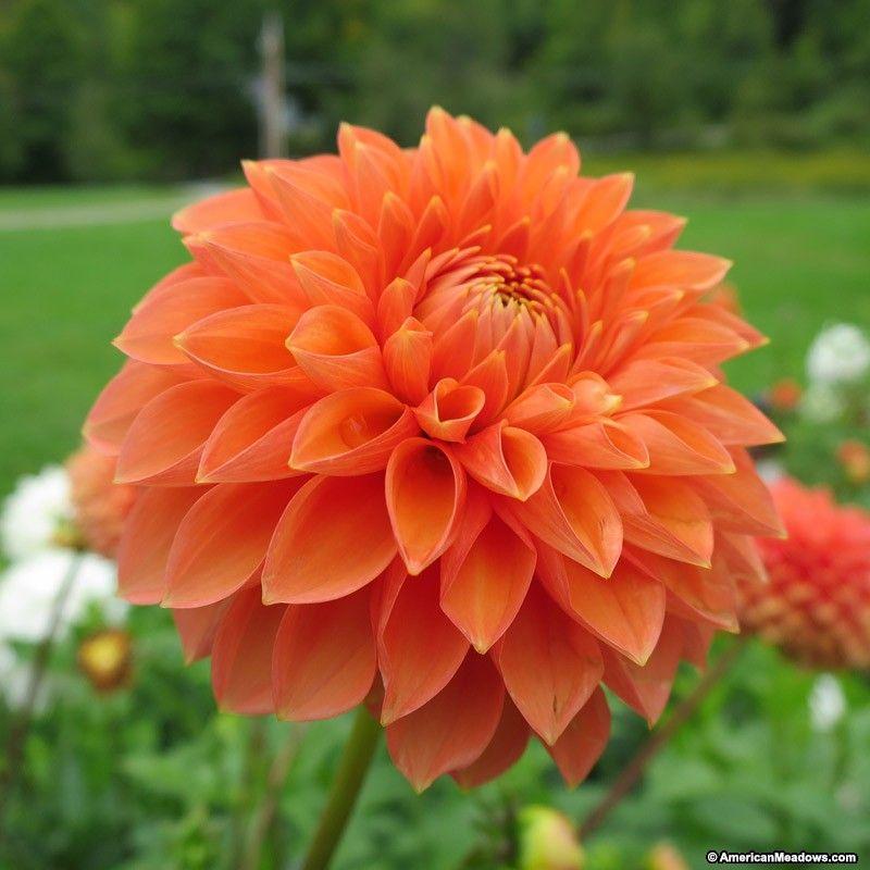 Prince Of Orange Semi Dinner Plate Dahlia Prince Of Orange Dahlia Bulb Flowers