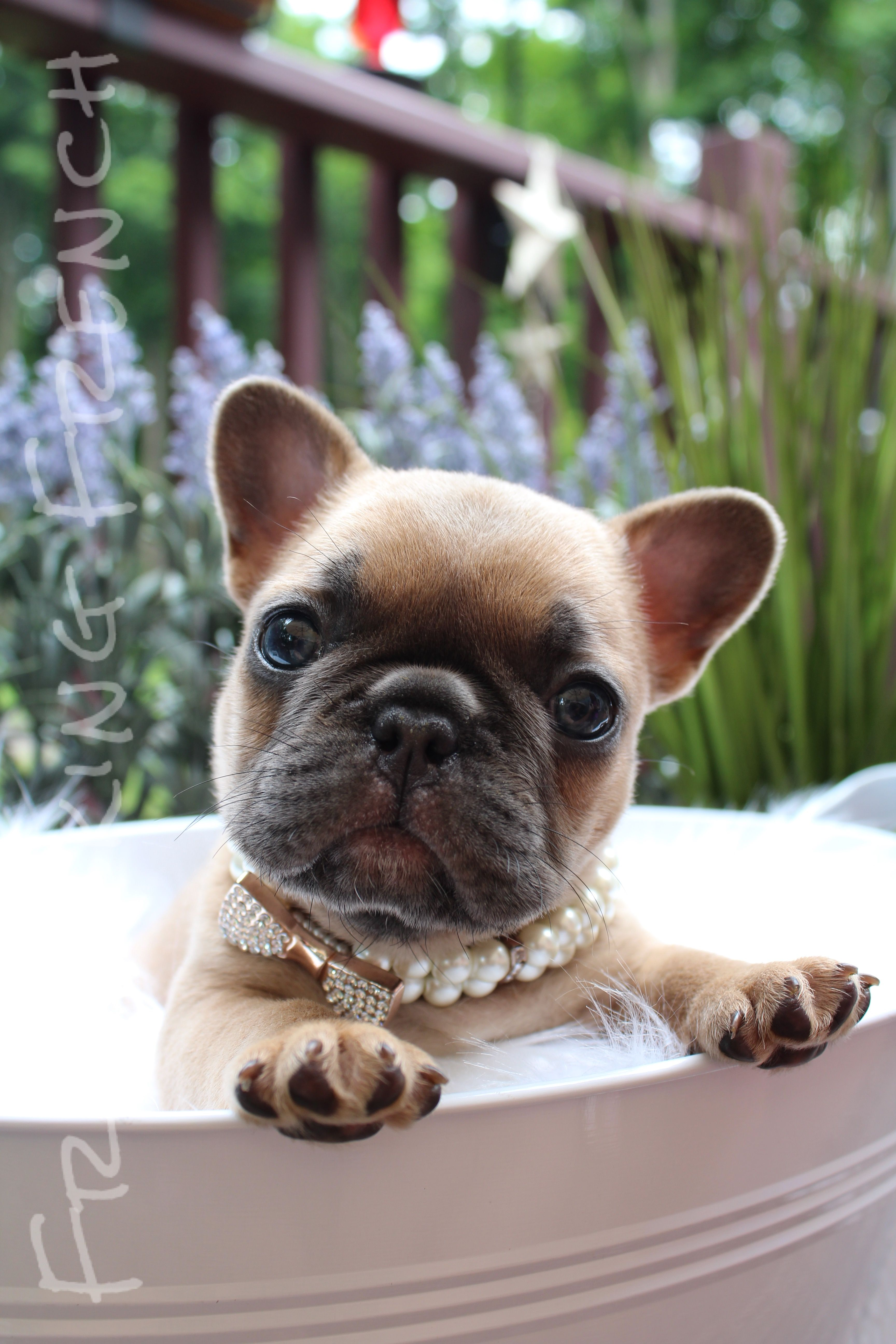 The Frolicking French Blue Fawn French Bulldog French Bulldog