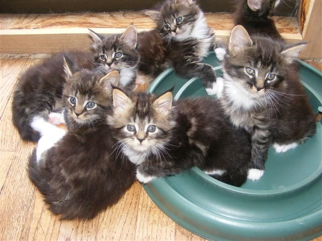 Maine Coon Cats Rescue Near Me
