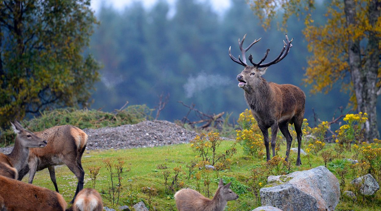 A red deer bellows during the annual rutting season in the Highland Wildlife Park in Kincraig, Scotland, #been