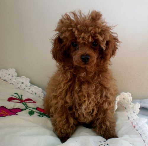 Micro Teacup Poodle Google Search Teacup Poodle Puppies