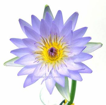 Blue lotus flower herbal medicinals pinterest blue lotus and bouncing bear botanicals supplies quality blue lotus nymphaea caerulea aka blue lotus for sale to buy nymphaea caerulea blue lotus dried flowers and mightylinksfo