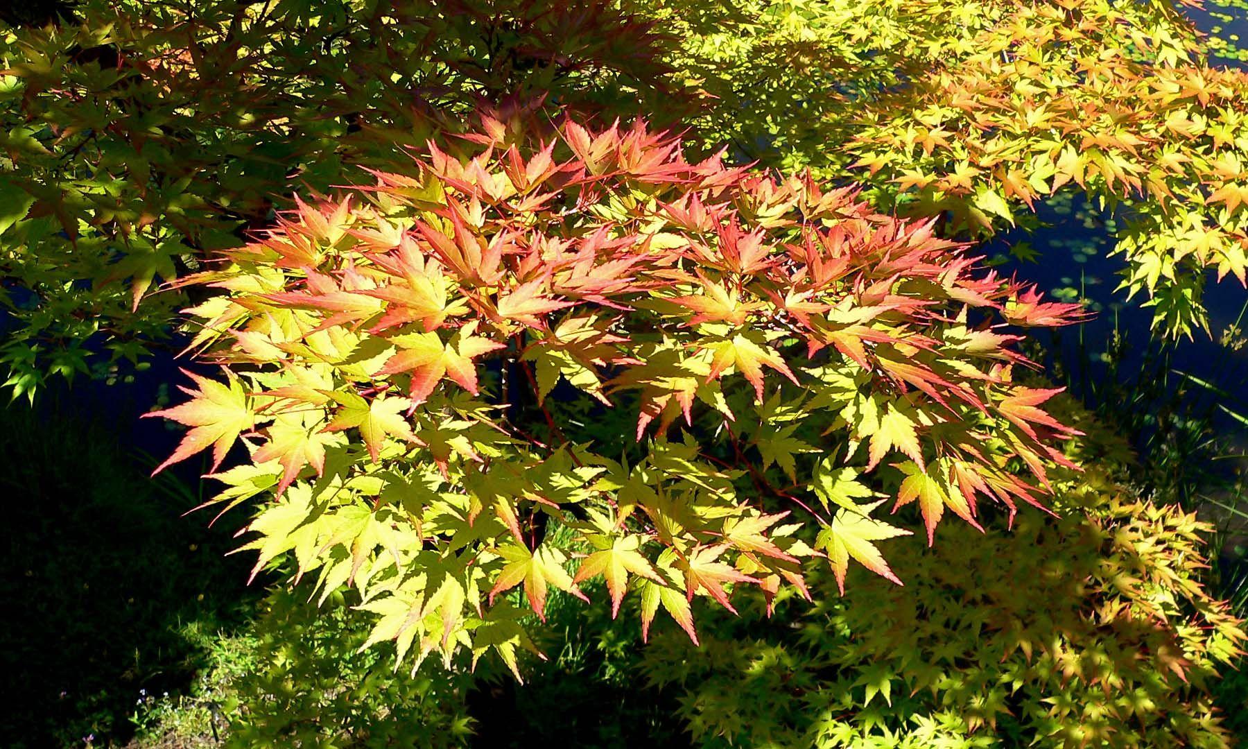 Acer palmatum arbustos medianos o peque os o arbolitos de for Arbustos de hoja caduca