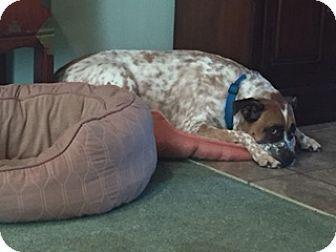 Cleveland, OH Boxer/Irish Wolfhound Mix. Meet Ty, a dog