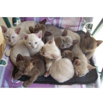 Oramor Burmese And Siamese Cat Breeder Maryborough Qld Siamese Cat Breeders Burmese Cat Pretty Cats