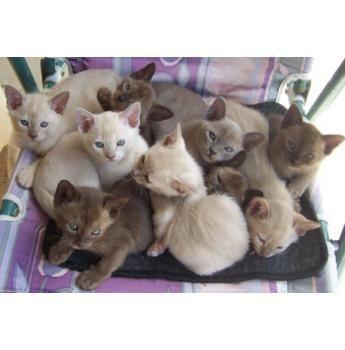 Oramor Burmese And Siamese Cat Breeder Maryborough Qld Cat Breeder Burmese Cat Siamese Cat Breeders