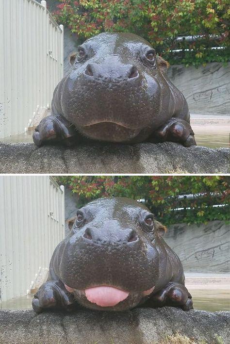 Cute Baby Hippos