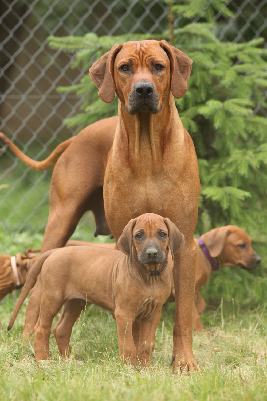 Top Rhodesian Ridgeback Brown Adorable Dog - 815535d0a145f6c7896c88d21f3cfd0c  2018_396660  .jpg