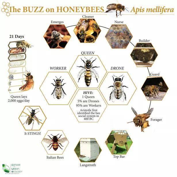 Free Honeybee Diagram Templates Manual Guide