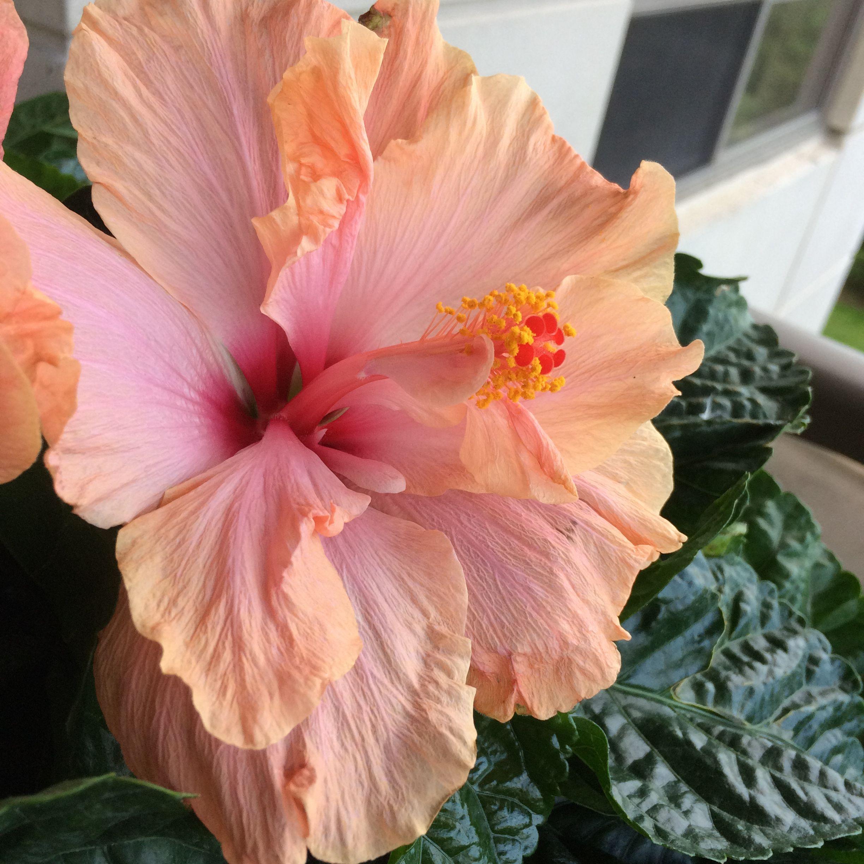 Beautiful hibiscus aka shoe black jamaica f flowers beautiful hibiscus aka shoe black jamaica izmirmasajfo Choice Image