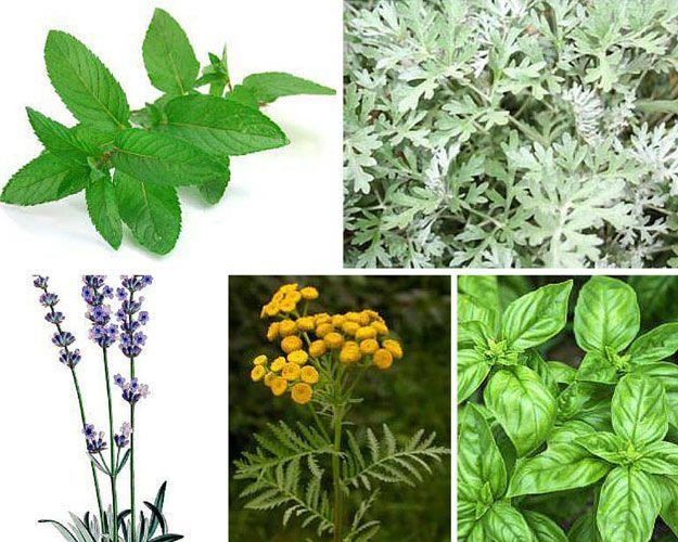 Fruit Flies On Herb Plants - Garden Design Ideas