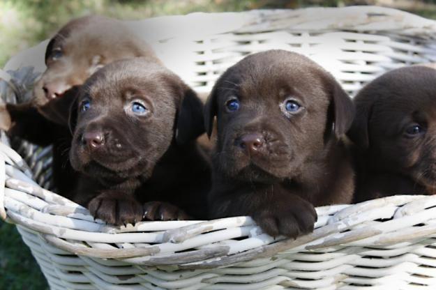 Newcastle Olx Com Au Cute Dogs Black Labrador Puppy Labrador Puppy