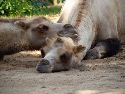 Snoozing Camels