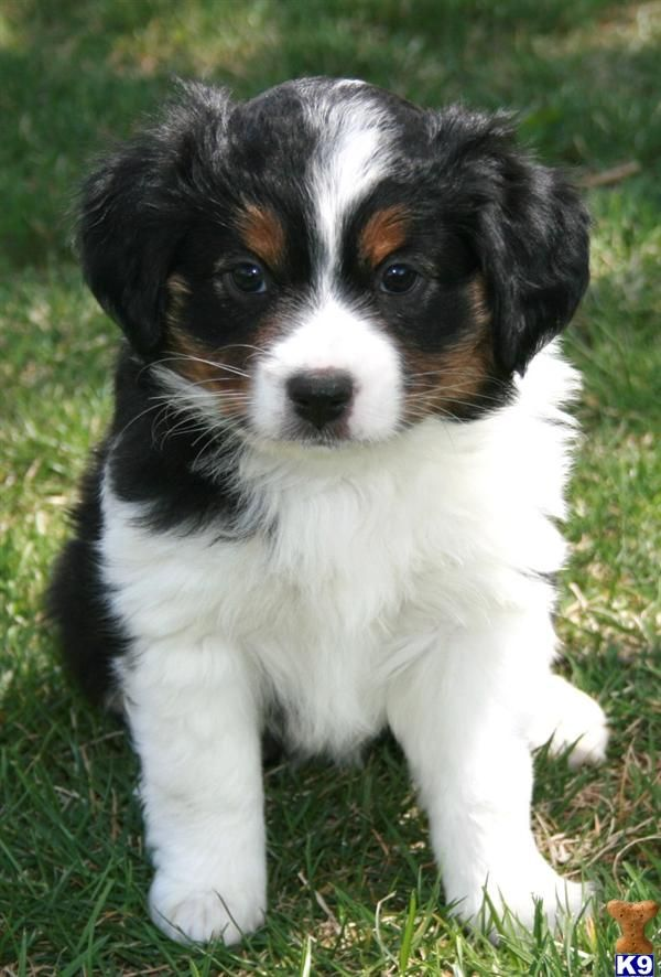 Beautiful Tri Color Mini Aussie Pup Australian Shepherd