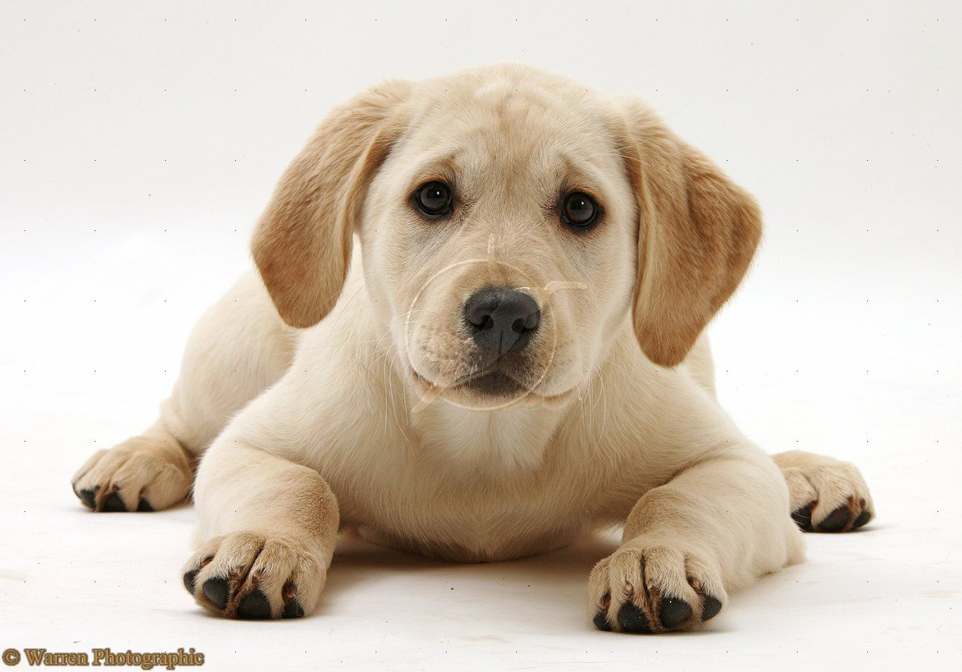 Labrador Retriever puppies and dogs for sale and adoption is part