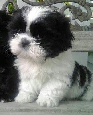 Malshi Black And White Google Search Shitzu Puppies Puppies Shih Tzu Puppy