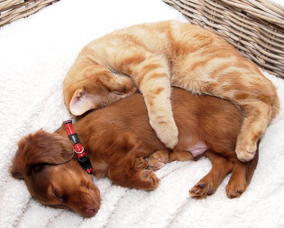Dachshund puppy with cat sleeping after knowing each other