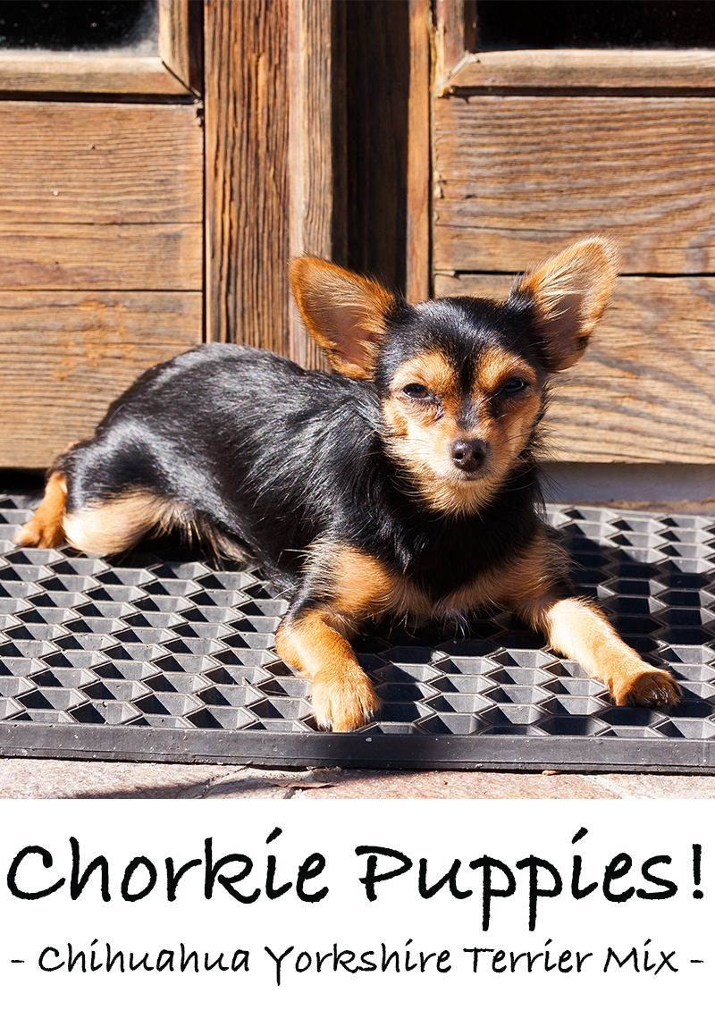 Chorkie A Guide To Yorkie Chihuahua Mix Breed Dogs Yorkie